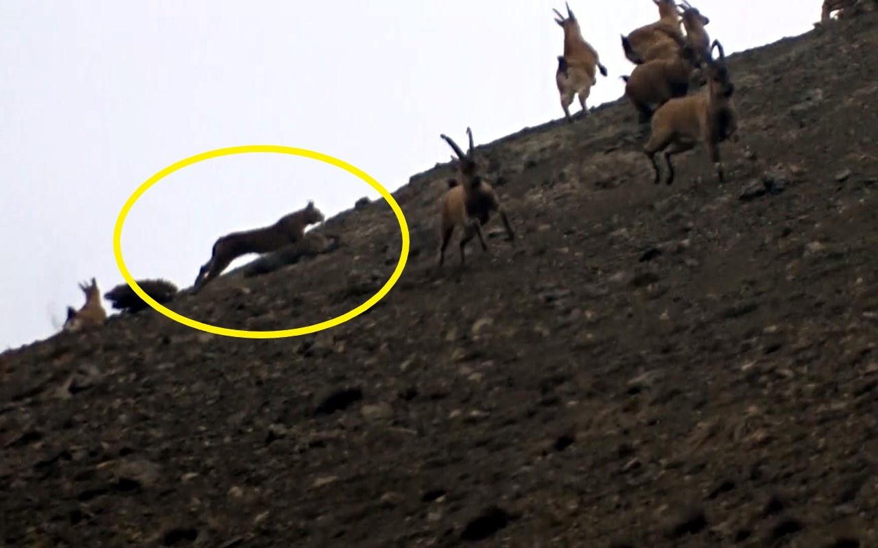 Erzincan'da vaşağın avlanma anı ilk kez kaydedildi