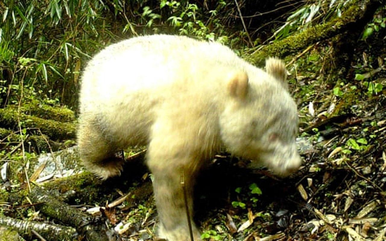 Dünyada ilk kez bir albino panda görüntülendi