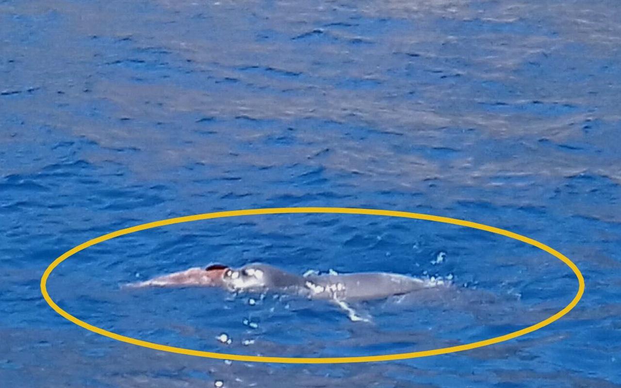 Muğla Datça'da yıllar sonra Akdeniz foku görüntülendi