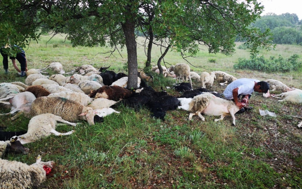 Eskişehir'de 55 koyun yıldırım çarpması sonucu telef oldu