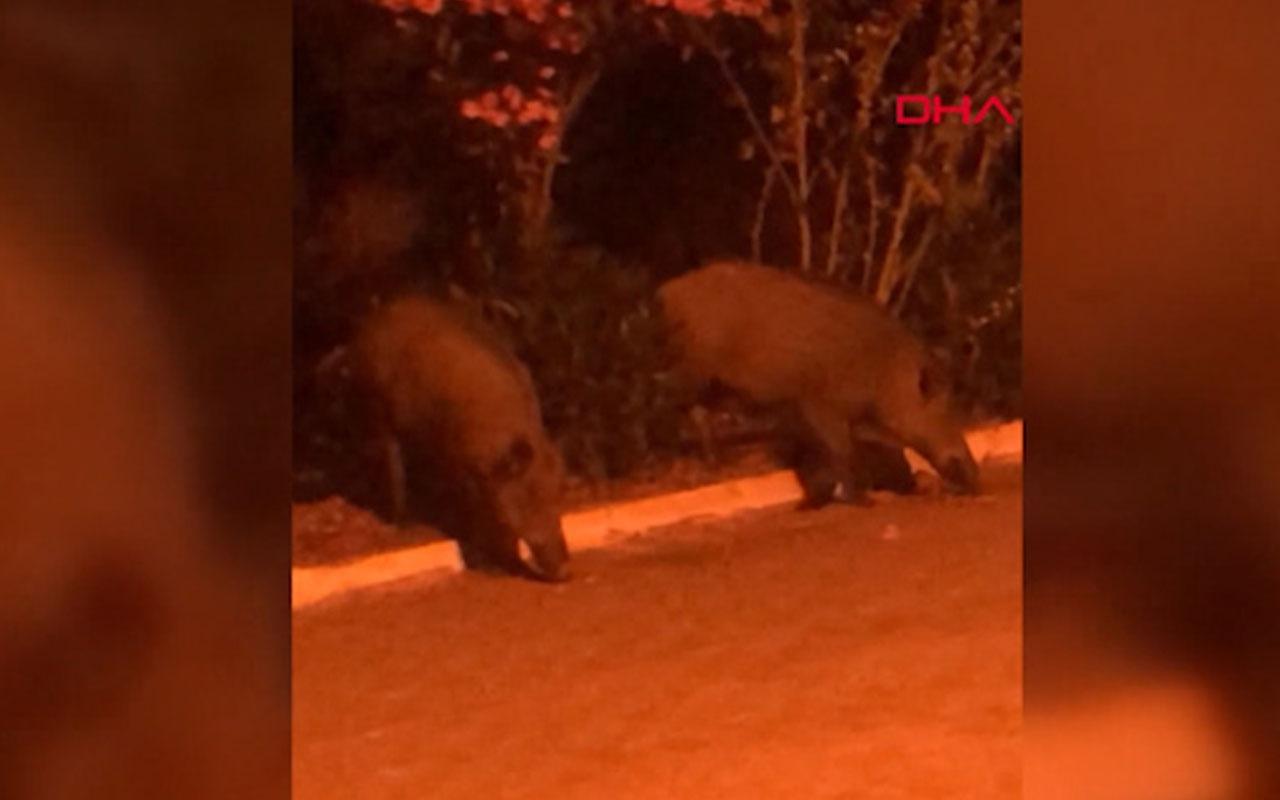 Balıkesir'de aç kalan domuzlar ilçe merkezinde görüntülendi