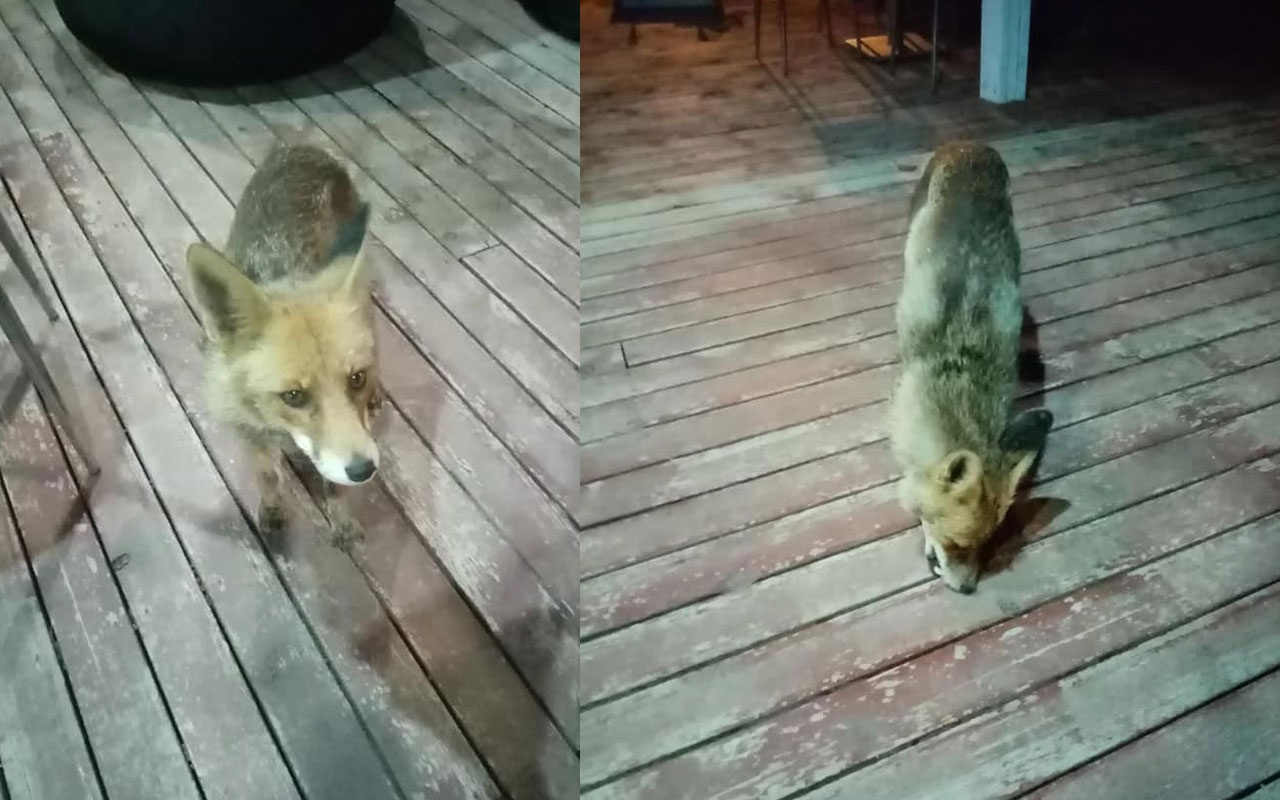 Aç kalan tilkiyi yemek için geldiği otelde elleriyle beslediler