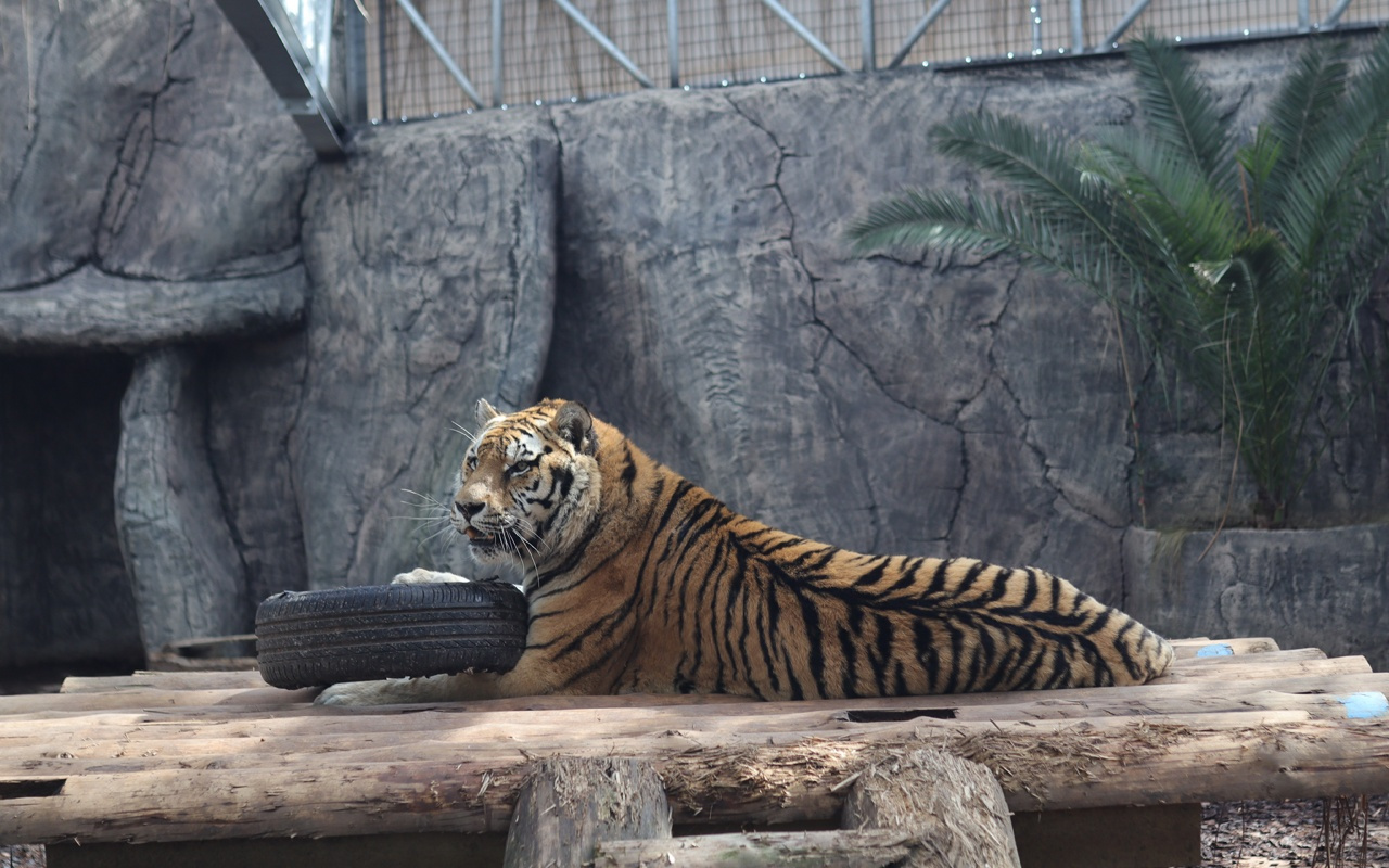 Dünyada 30 İstanbul'da 4 tane var! Türkiye büyük kedilerine isim arıyor