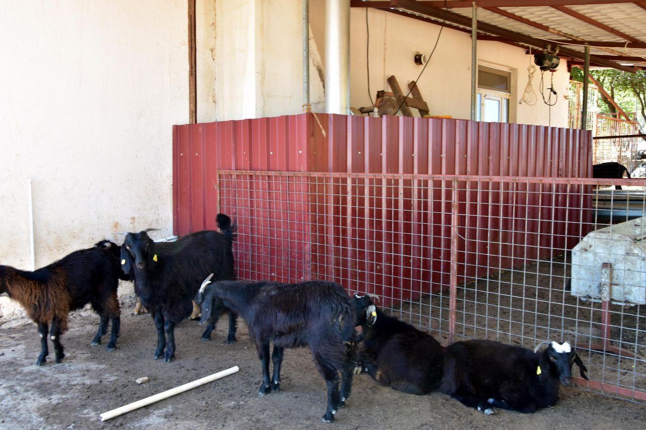 Muğla'da yeni işe aldığı iki çoban besiciye dehşeti yaşattı