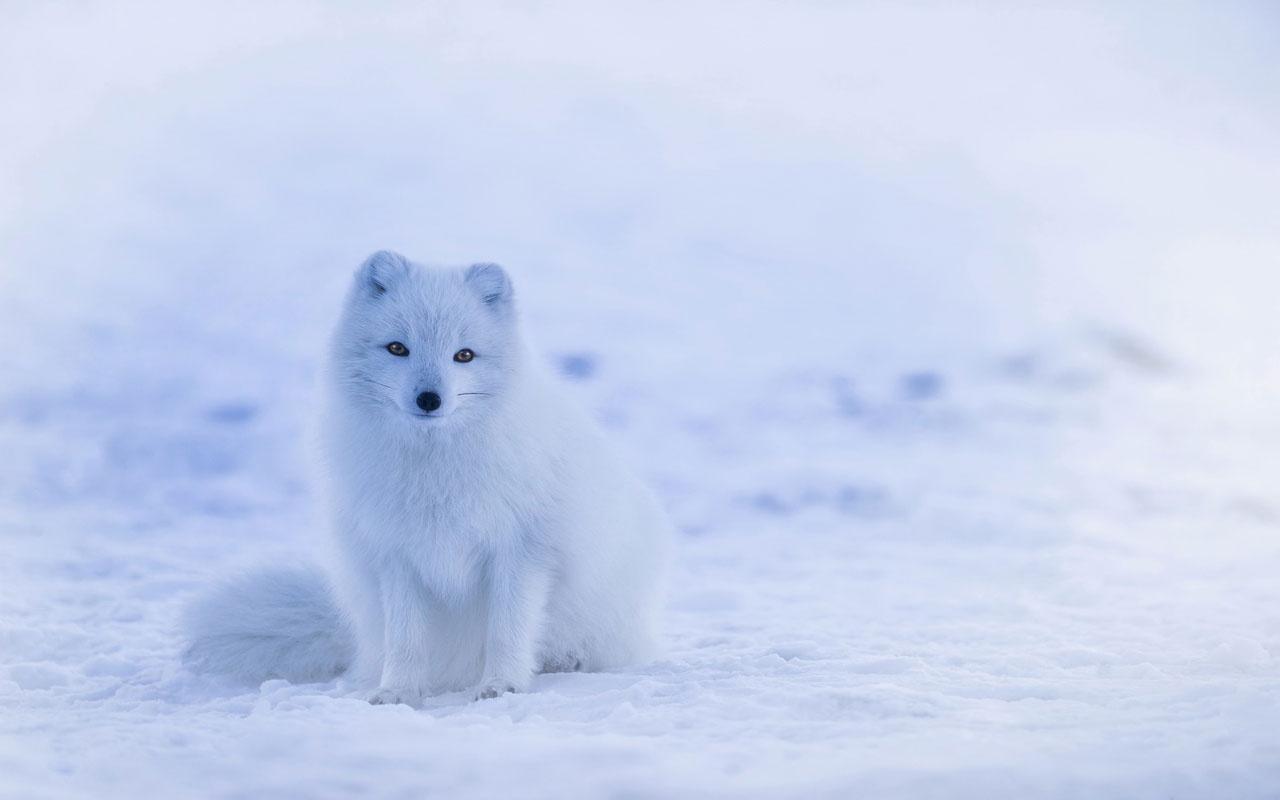 Kutup tilkisinin yolculuğu bilim insanlarını şok etti! İşte nedeni