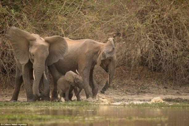 Timsah yavru fili yakaladı! Annesi kendini feda etmekten çekinmedi