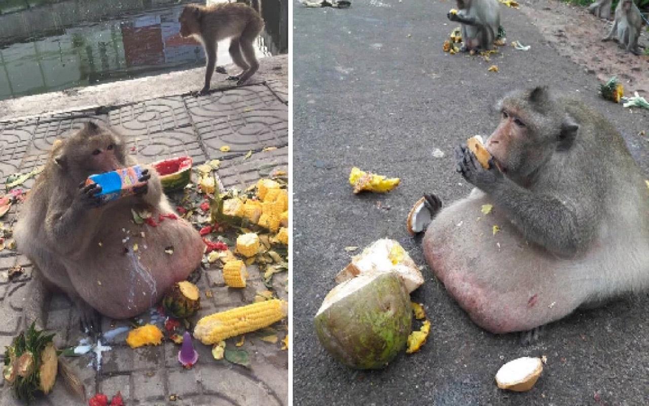 Obez maymunu diyet kampına yolladılar! Önce yemekleri çaldı sonra firar etti