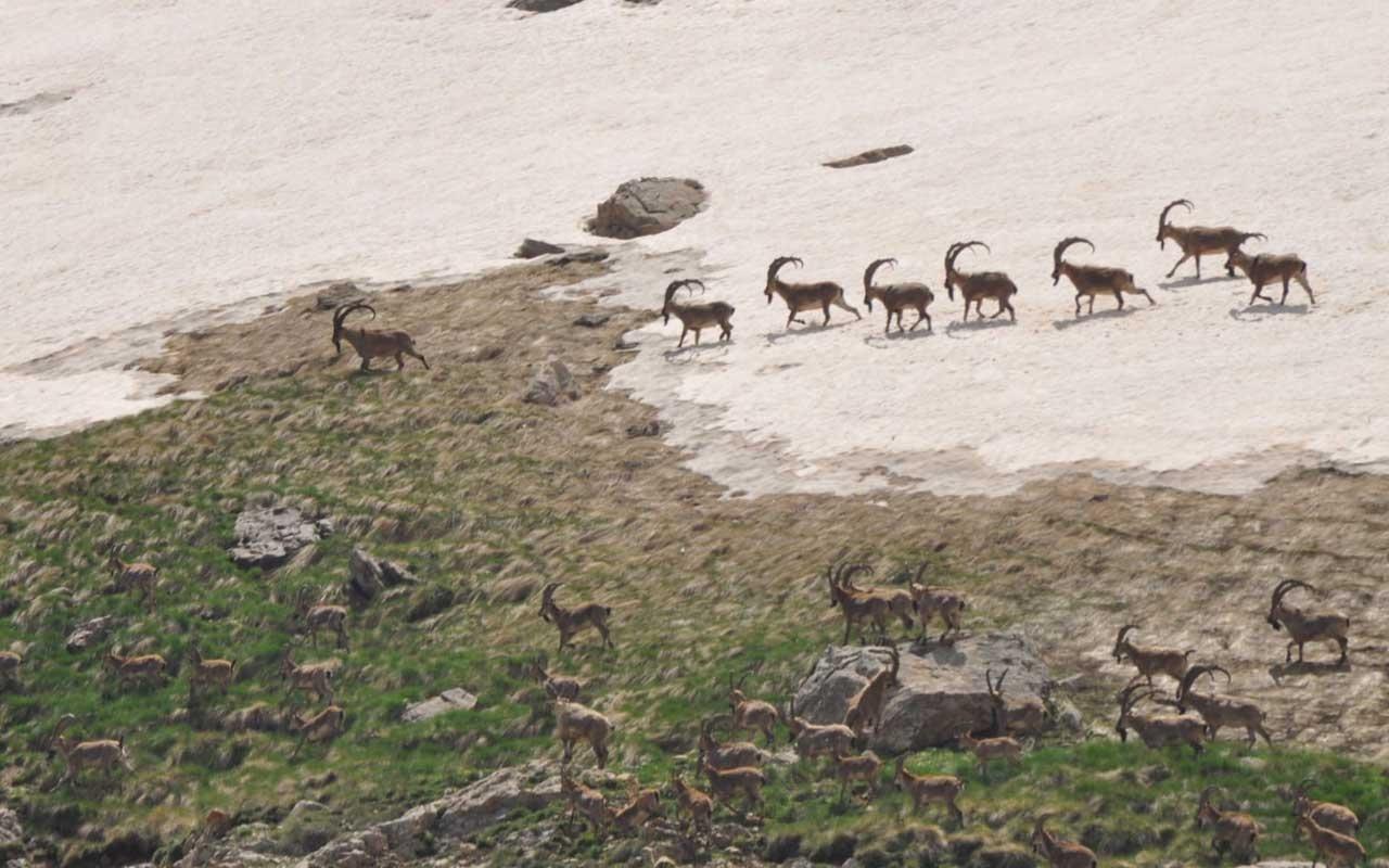 Tunceli'de bezuvar dağ keçileri sürü halinde görüntülendi