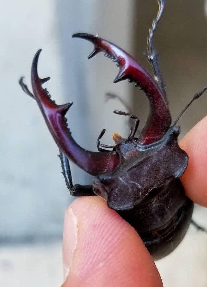 150 bin dolar ediyor! Doğada nadir bulunan Geyik Böceği Elazığ'da görüldü - Sayfa 2