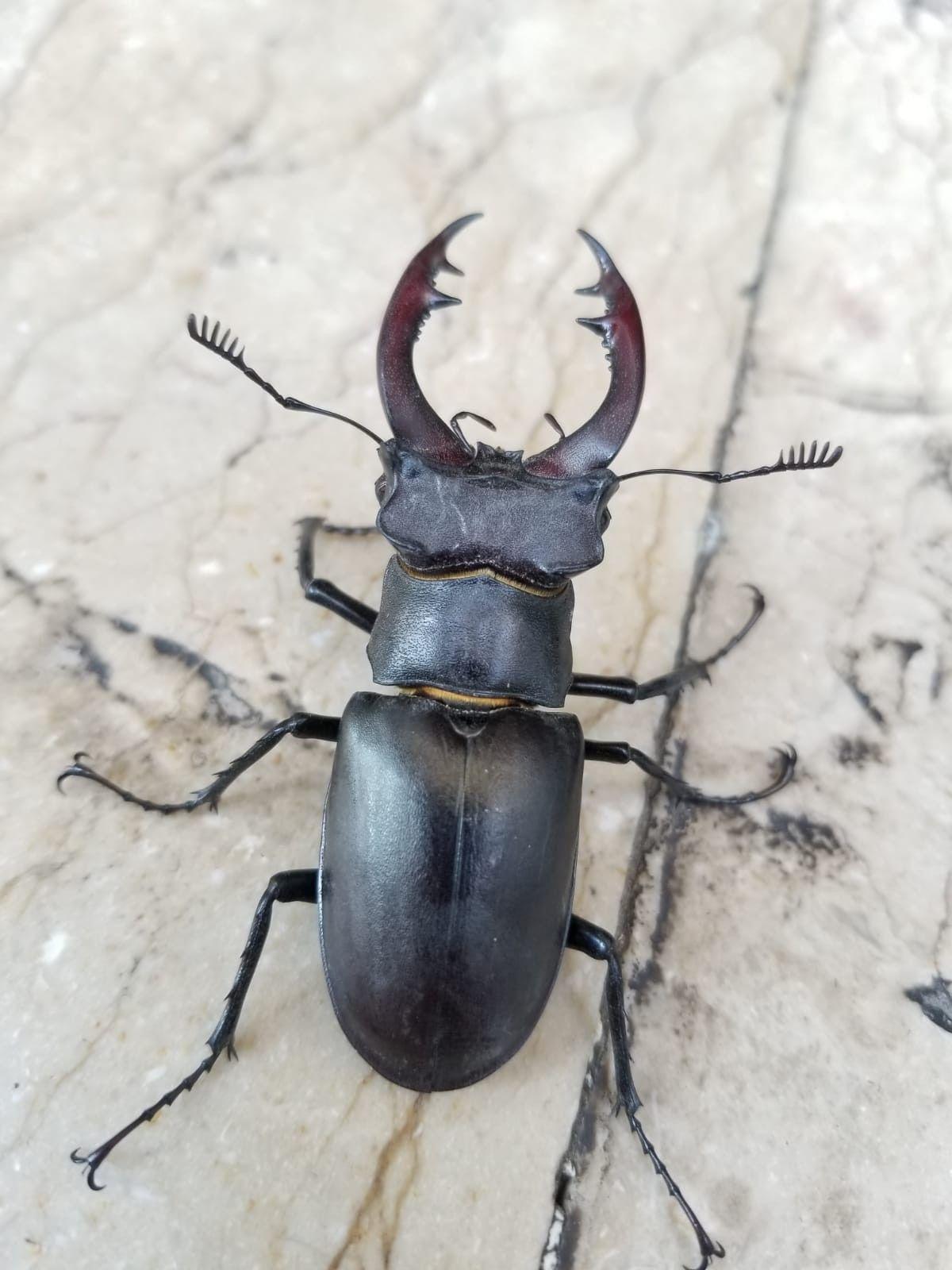 150 bin dolar ediyor! Doğada nadir bulunan Geyik Böceği Elazığ'da görüldü - Sayfa 3