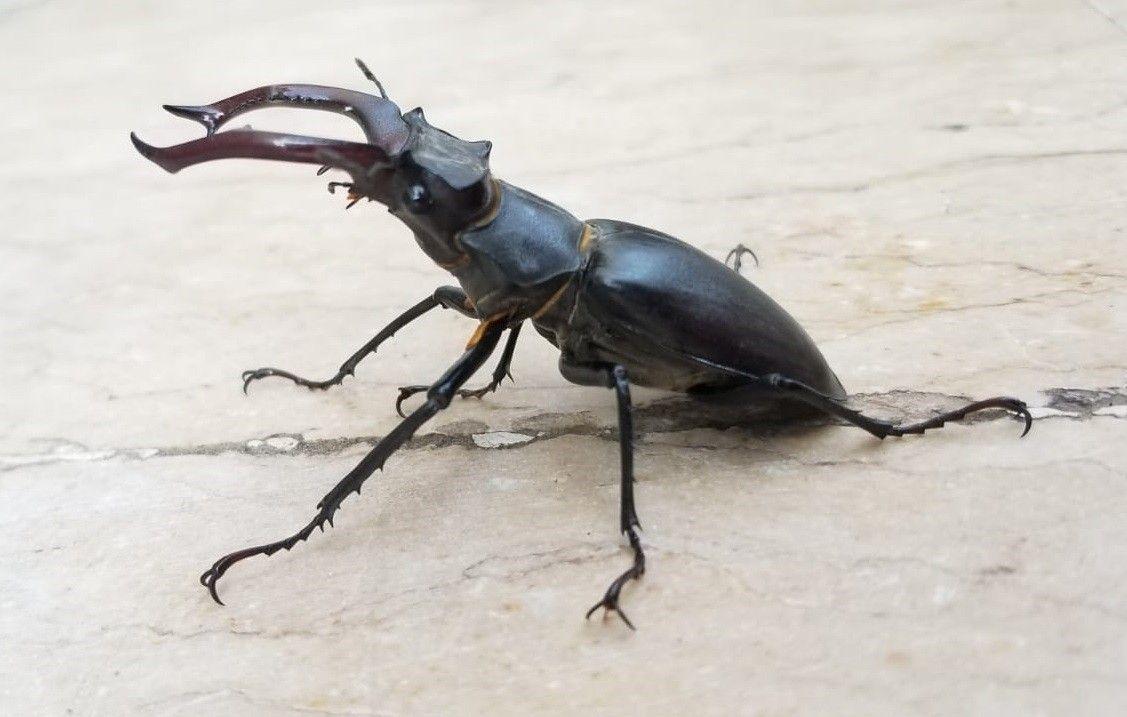 150 bin dolar ediyor! Doğada nadir bulunan Geyik Böceği Elazığ'da görüldü - Sayfa 1