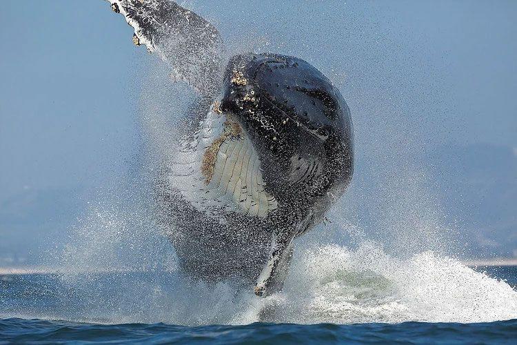Balinanın deniz aslanını yutma anı görüntülendi sonrasında yaşananlar şaşırttı - Sayfa 5