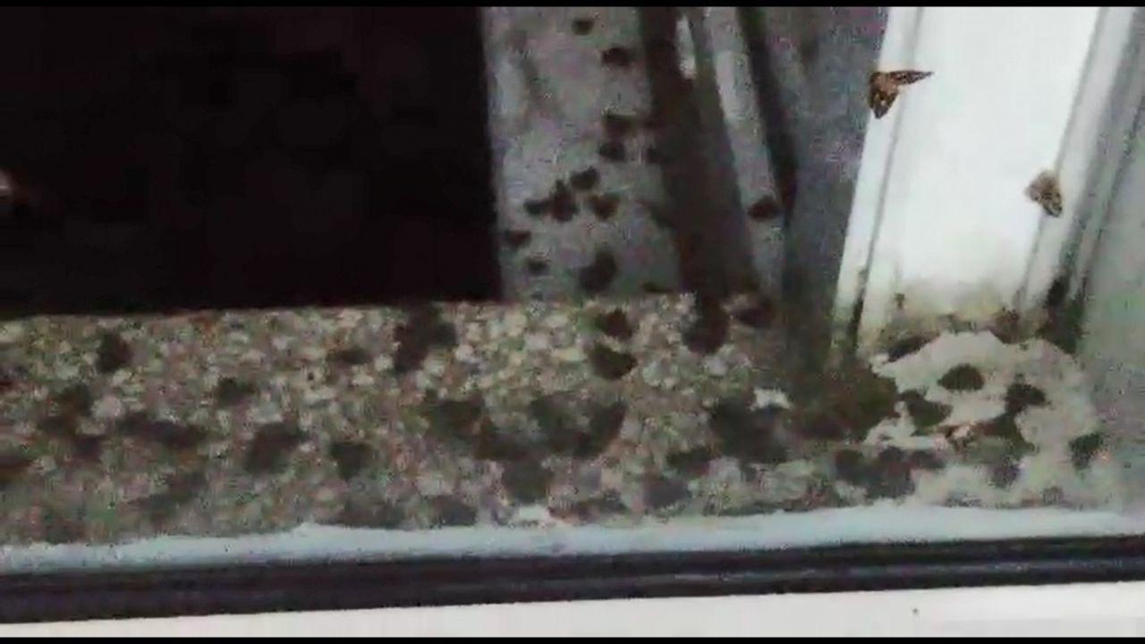 Rize'de vampir kelebek paniği İnsanın üzerine yapışıyorlar ısırıyorlar - Sayfa 1