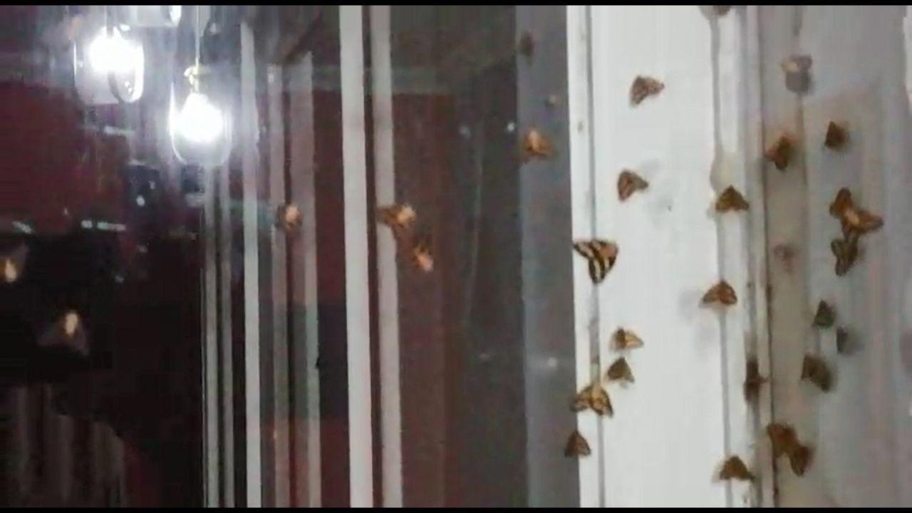 Rize'de vampir kelebek paniği İnsanın üzerine yapışıyorlar ısırıyorlar - Sayfa 2