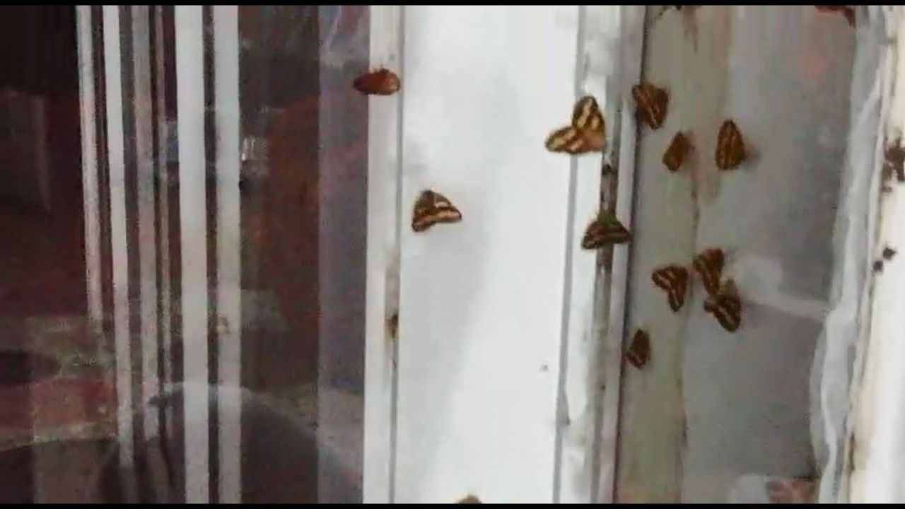 Rize'de vampir kelebek paniği İnsanın üzerine yapışıyorlar ısırıyorlar - Sayfa 3