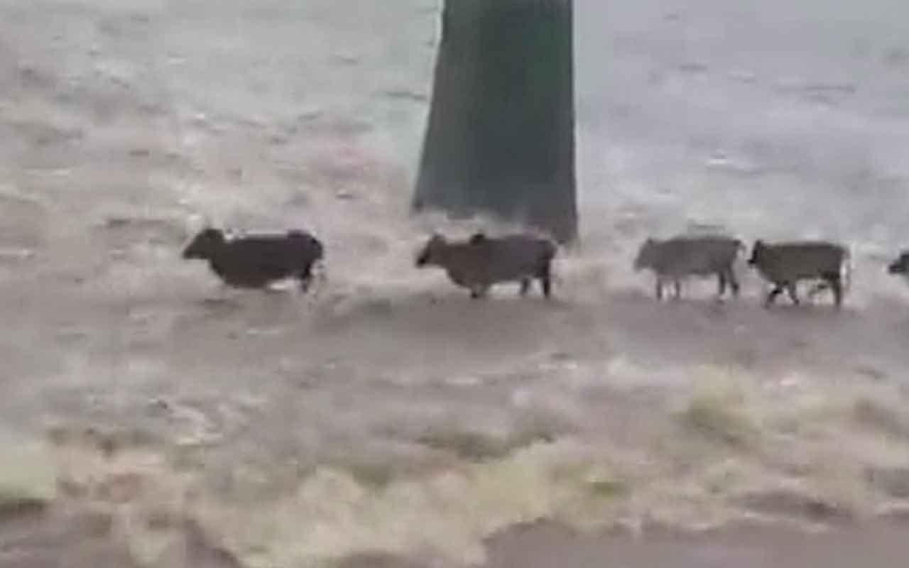 Sele kapılan büyükbaş hayvanlar telef oldu
