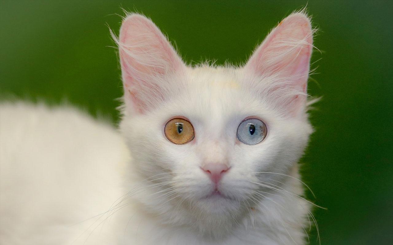 Van kedisi Nazlı doğumda rekor kırdı! Profesör şaşkına döndü