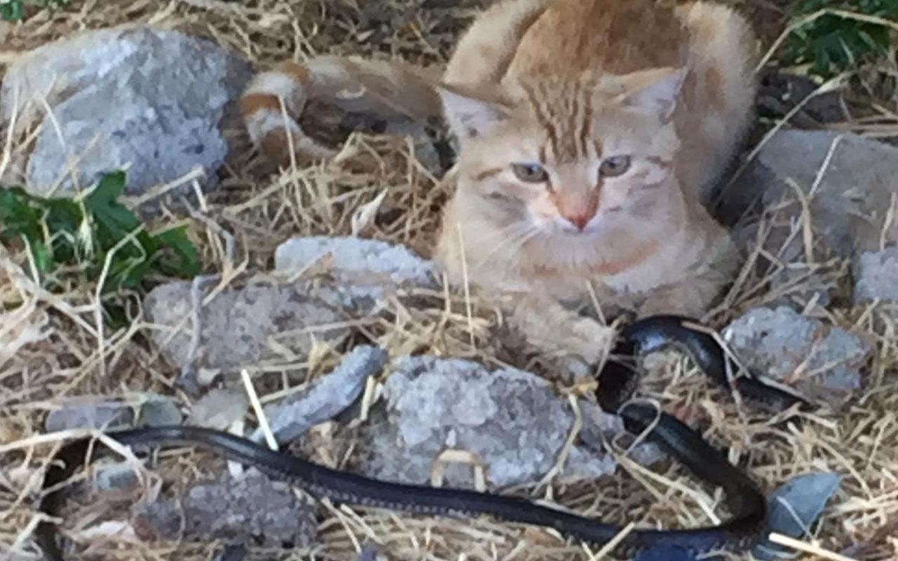 Adıyaman'da psikopat kedinin yılanla oyunu