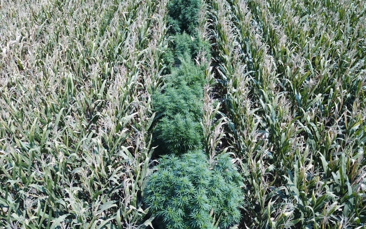 Manisa'da mısır tarlasına ekili kenevir ele geçirildi
