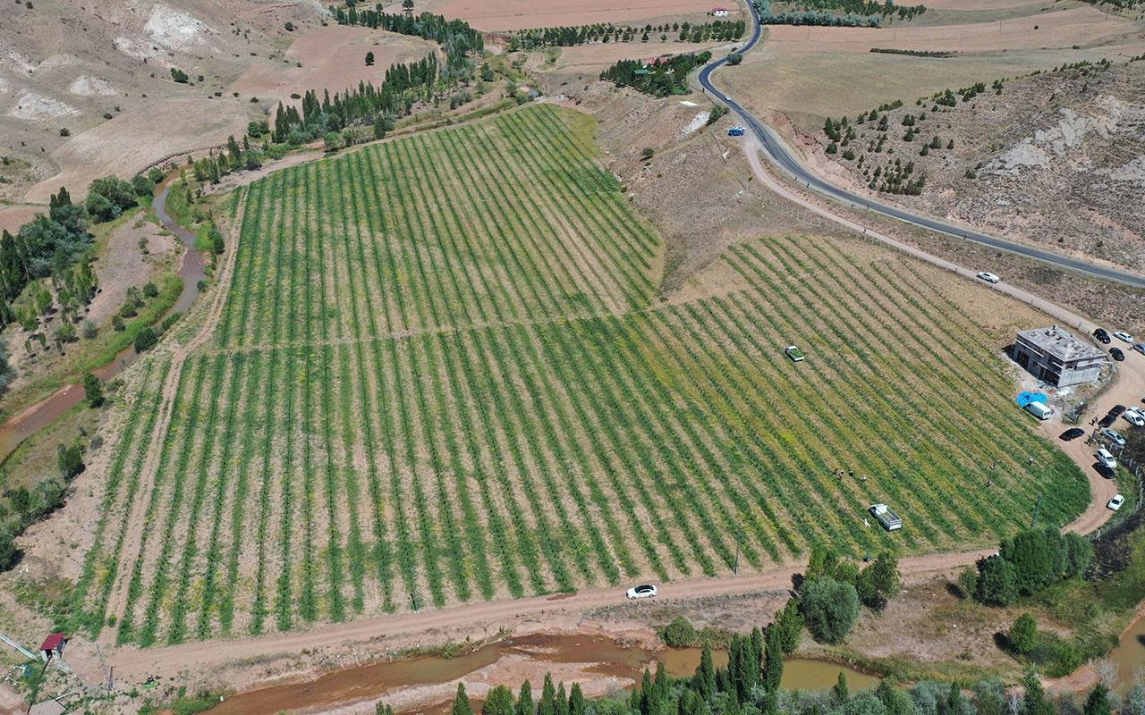 Yetişmez denilen Sivas'ta 150 ton karpuz hasadı