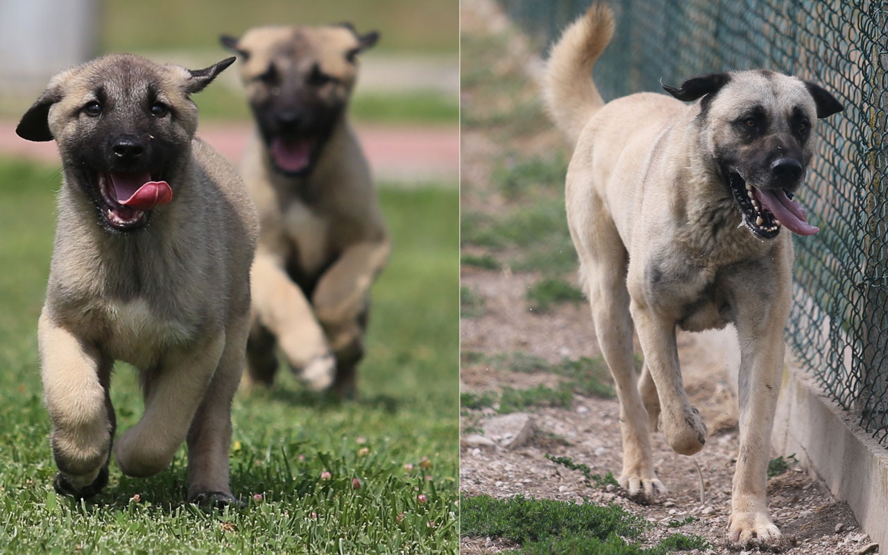 15 ay sıra bekleniyor! Bu Kangal köpekleri dünyaya gelmeden satılıyor