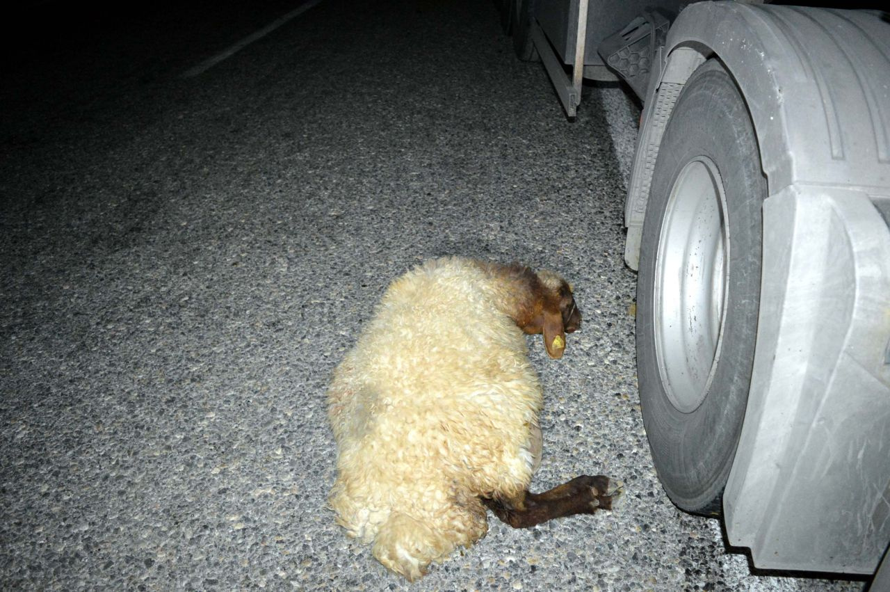 TIR bodoslama sürüye daldı 20 koyun telef oldu