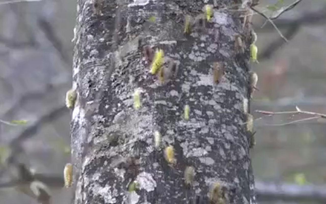 Ormanı istila eden tırtıllar, ağaçlarda adeta yaprak bırakmadı