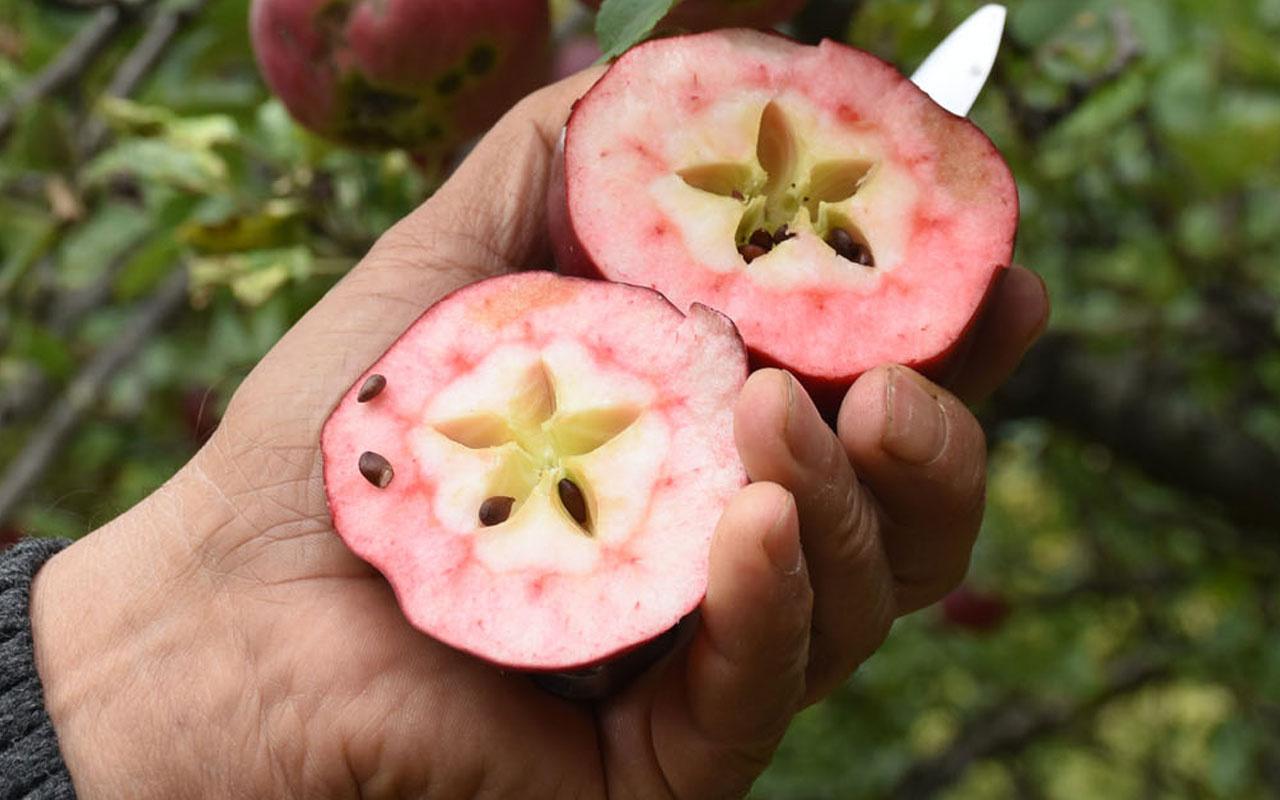 Daha önce böyle elma görmediniz Türkiye'nin sadece bir ilçesinde yetişiyor