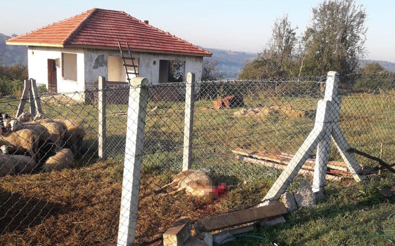 Kandıra'da aç kalan köpekler koyunları telef etti