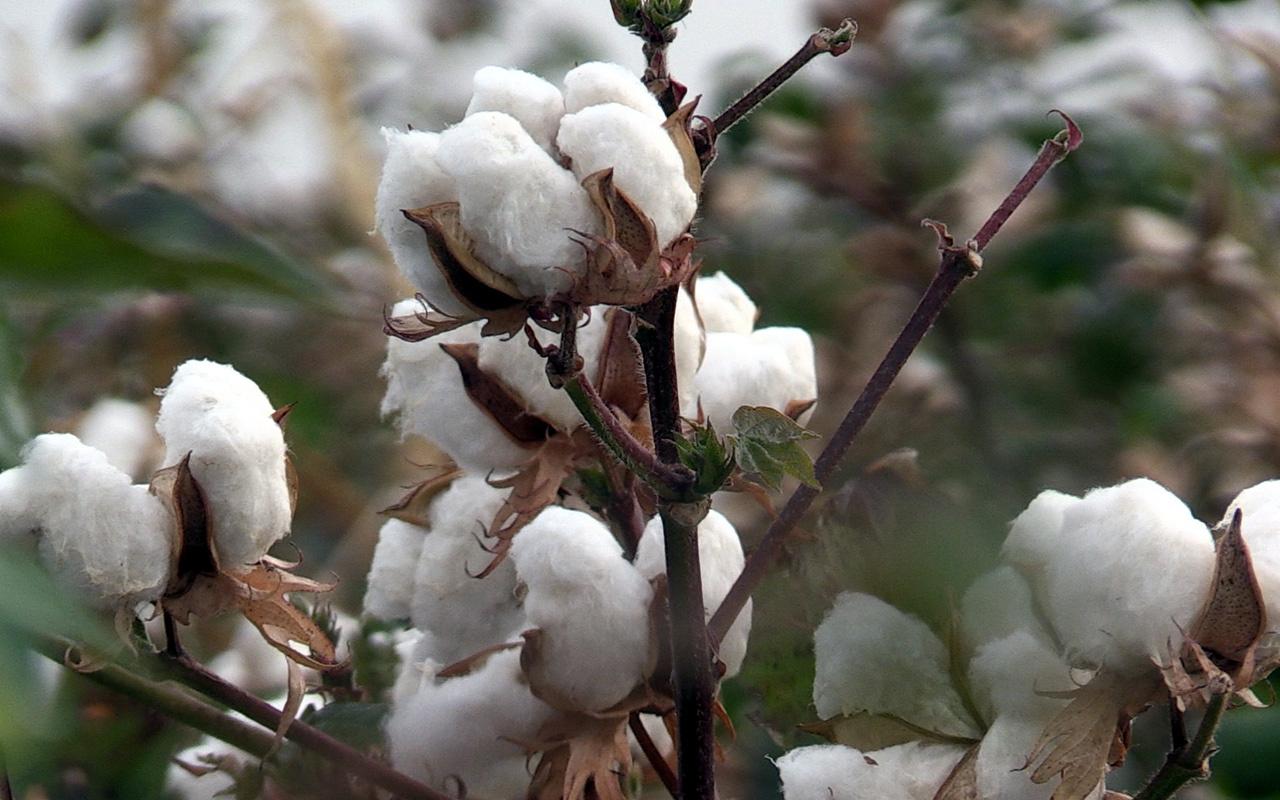 Şanlıurfa'da üreticilere pamuğun temiz toplanması uyarısı
