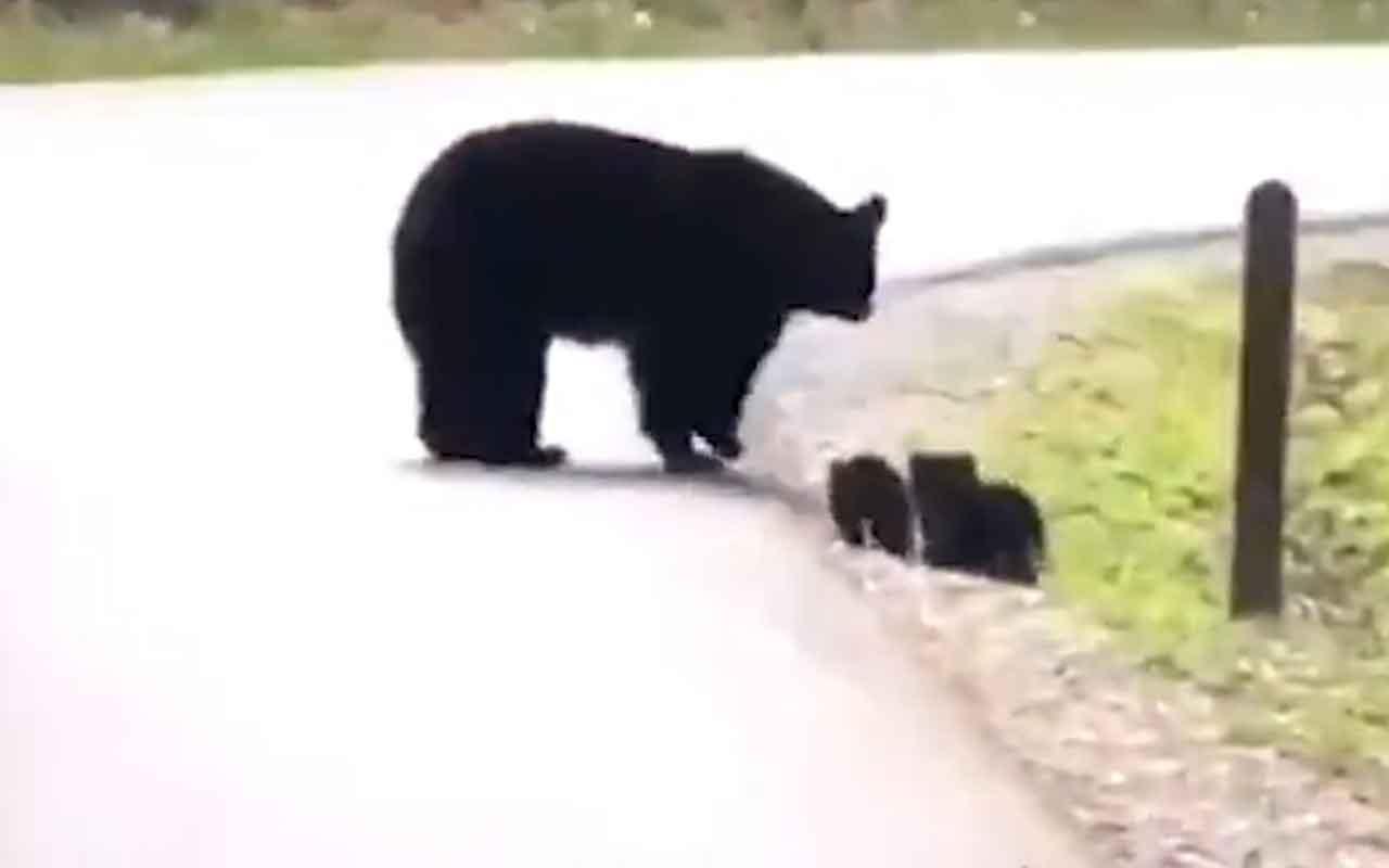 Yavrularını yolun karşısına geçirmek isteyen ayı böyle görüntülendi