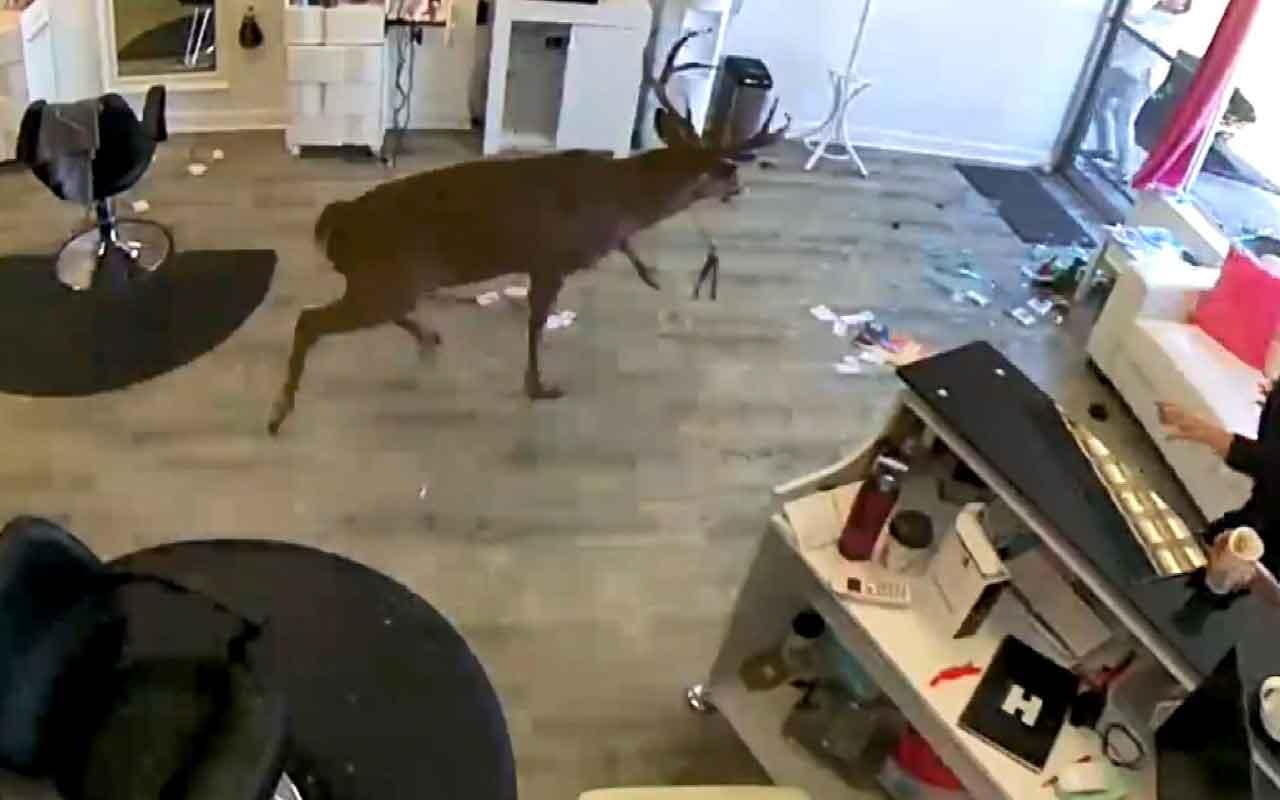 ABD'de geyik kuaför salonuna böyle daldı