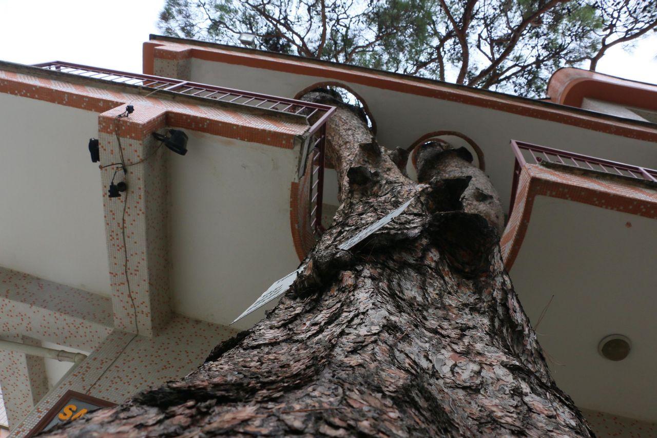 340 yıllık ağaç zarar görmesin diye yapılan binayı görenler şaşkına dönüyor