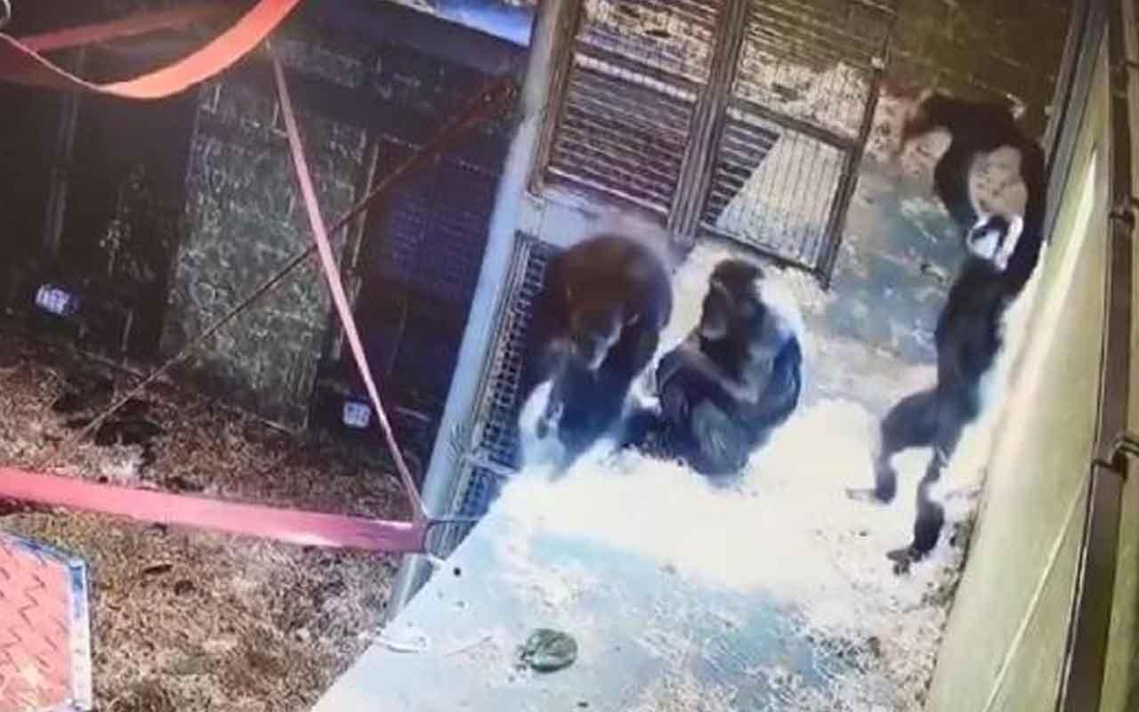 Anne ve yavru şempanzenin oyun anları büyük beğeni topladı