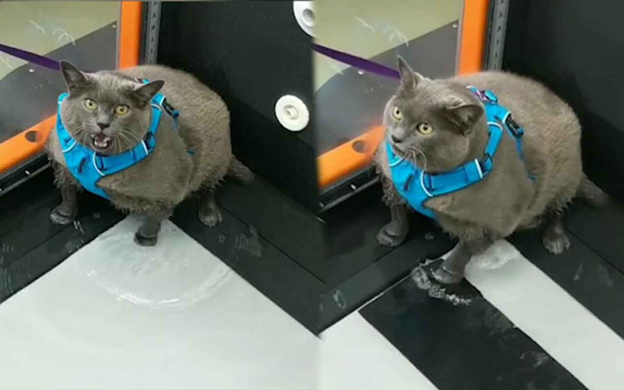 Obez kedi spor yapmaktan kaçmak için bulduğu yolla viral oldu