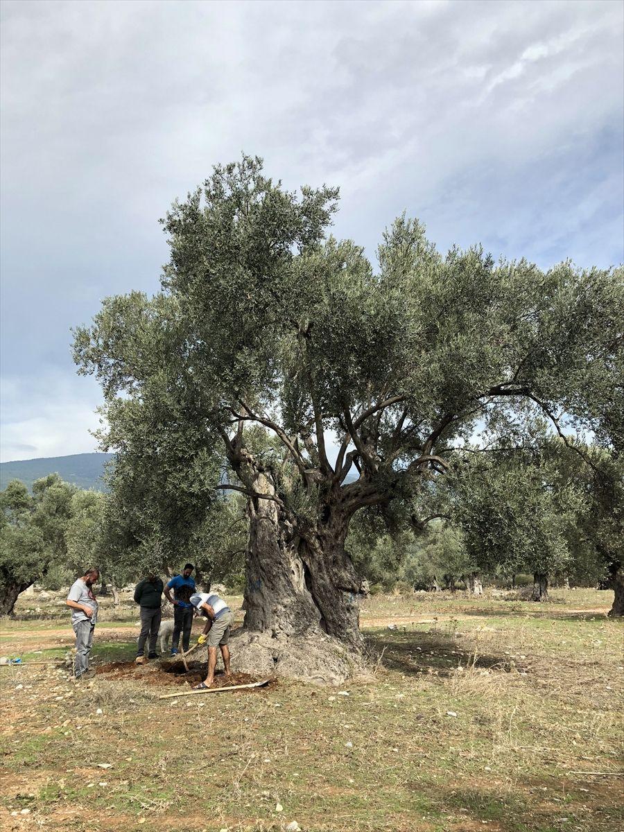 """3 bin yıllık ağacın """"sır"""" yaşını ortaya çıkardılar! Yağının kilosunu 100 bin liradan sattılar"""