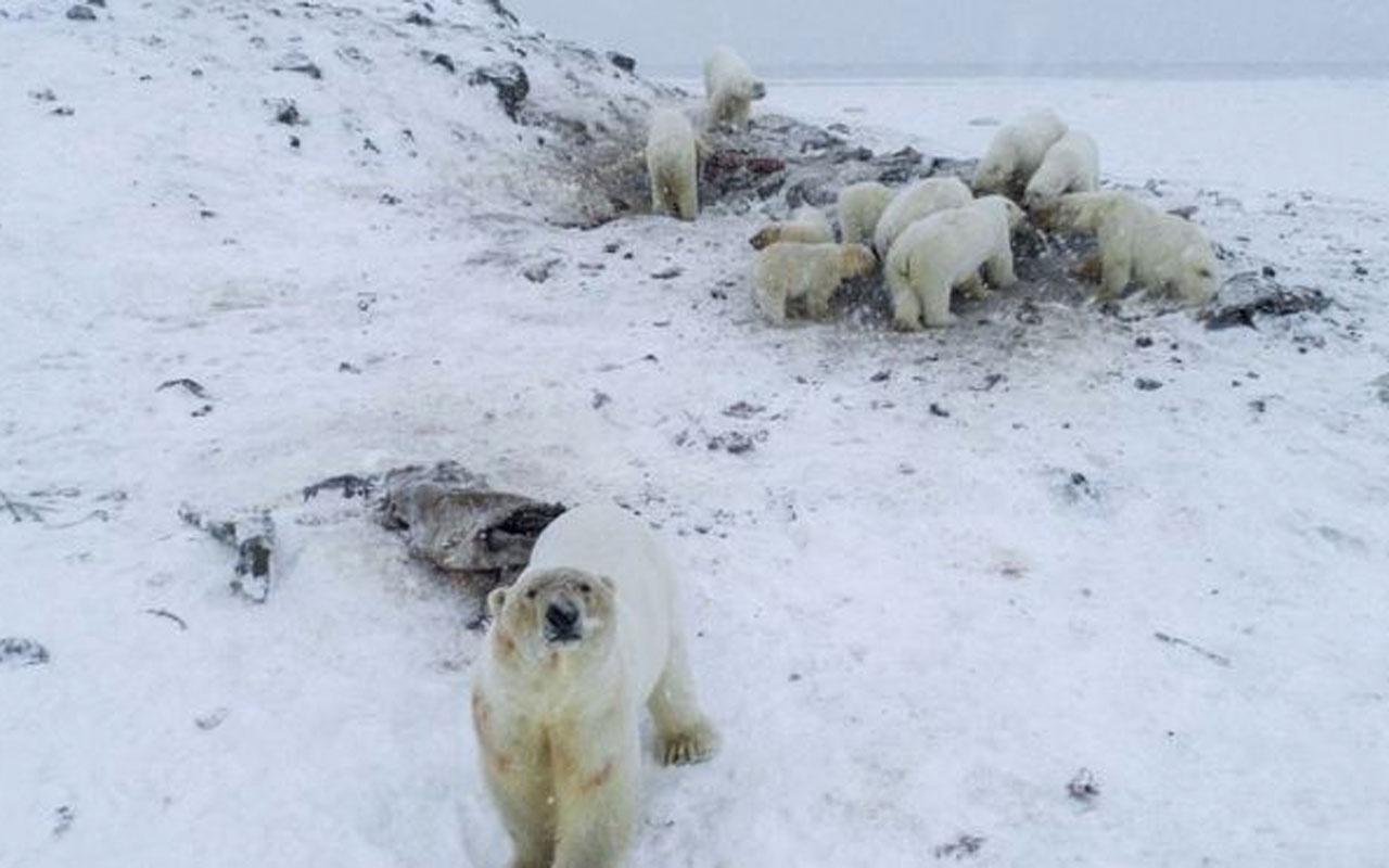 Rusya'da 50'den fazla kutup ayısı köye yaklaştı okullara koruma verildi