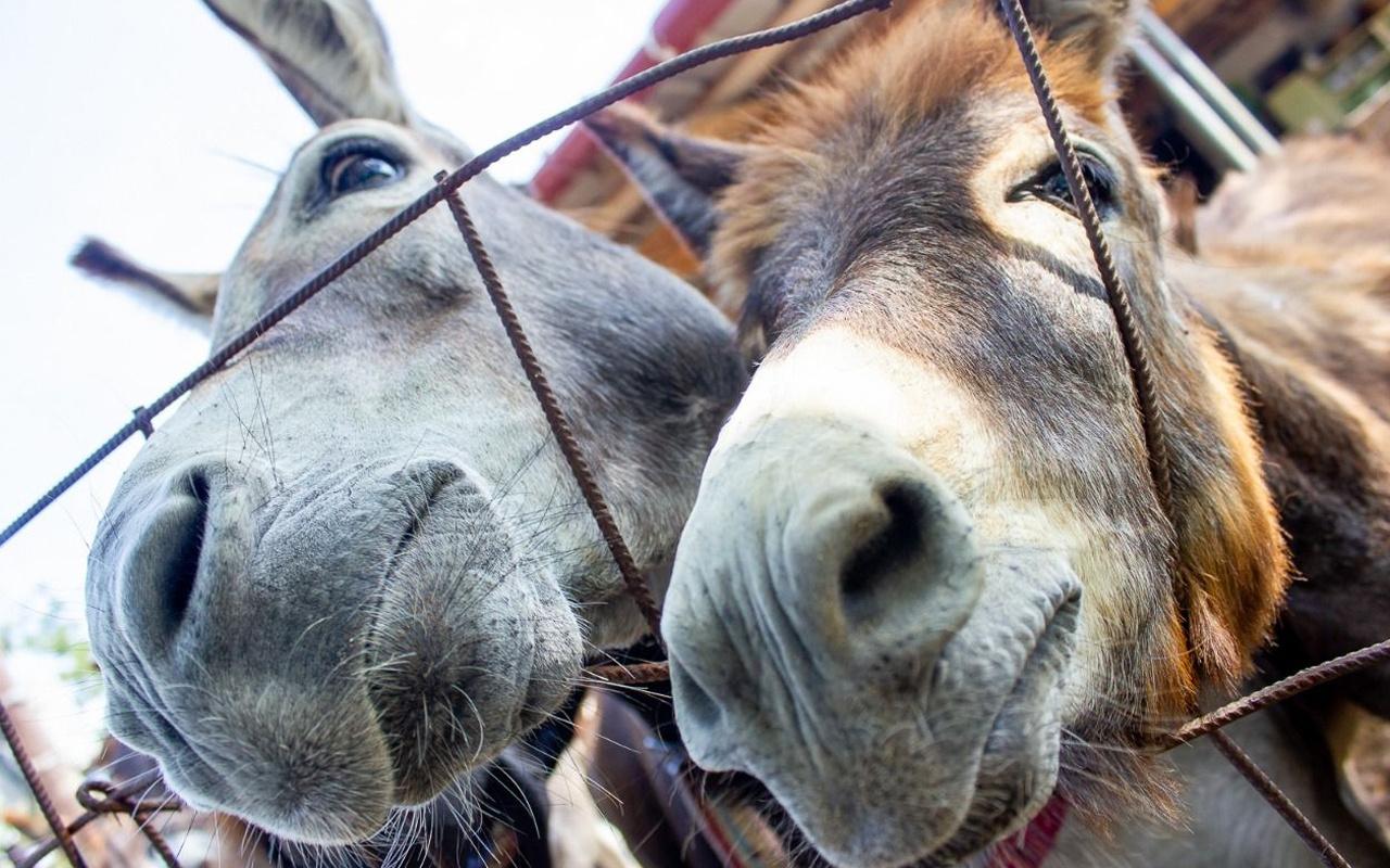 Türkiye Sudan'dan at, eşek ve katır eti ithal edecek! Tepki yağıyor