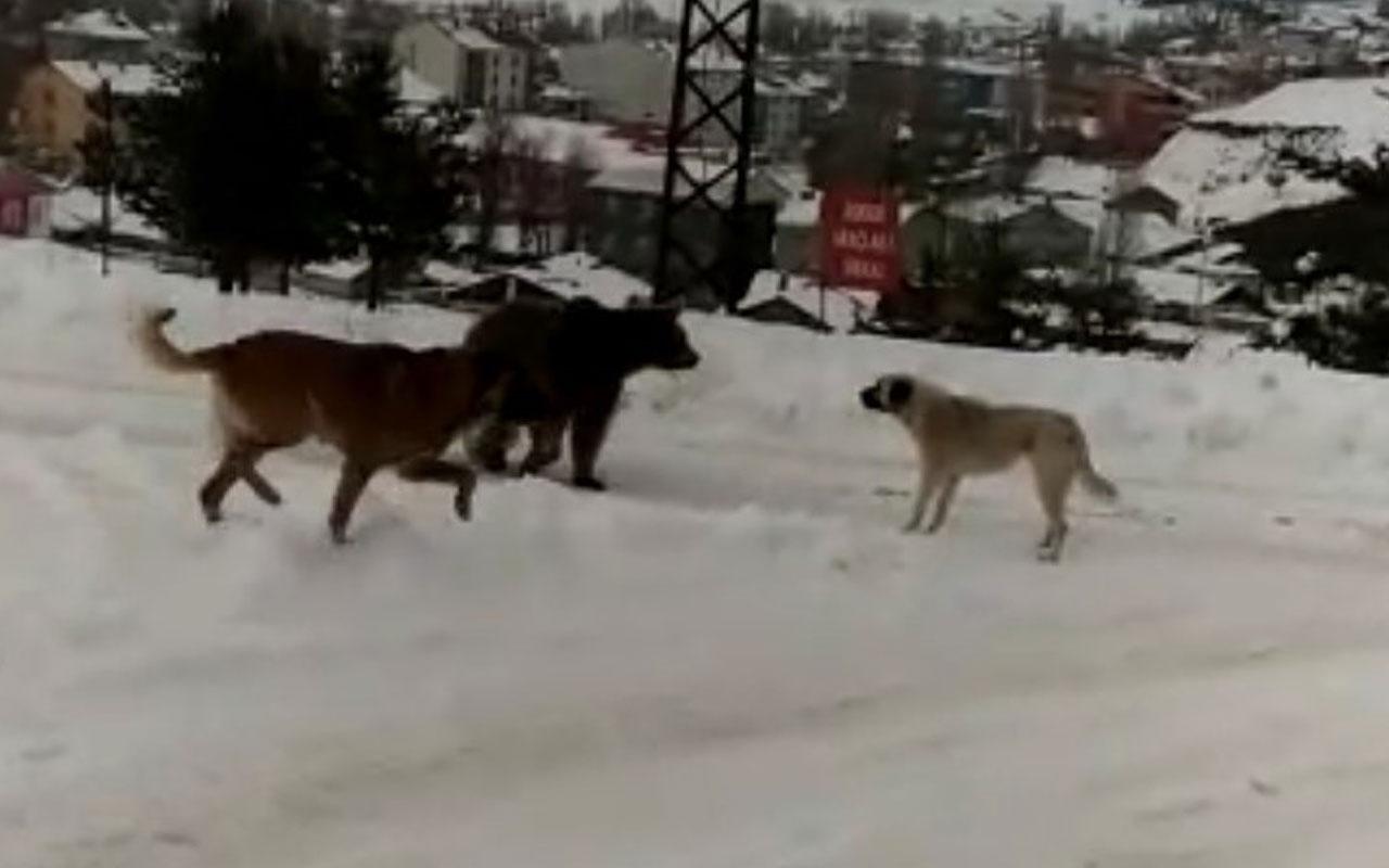 Sarıkamış'ta boz ayının köpeklerle imtihanı