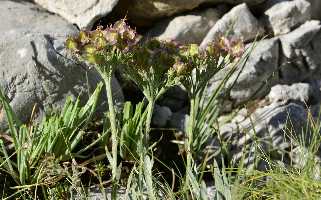 Denizli'de keşfedildi! Bu sıradışı bitkinin dünyada eşi benzeri yok