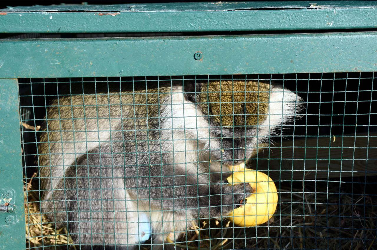 Maymun Aksaray'daki evinden kaçtı bakın nerede nasıl yakalandı