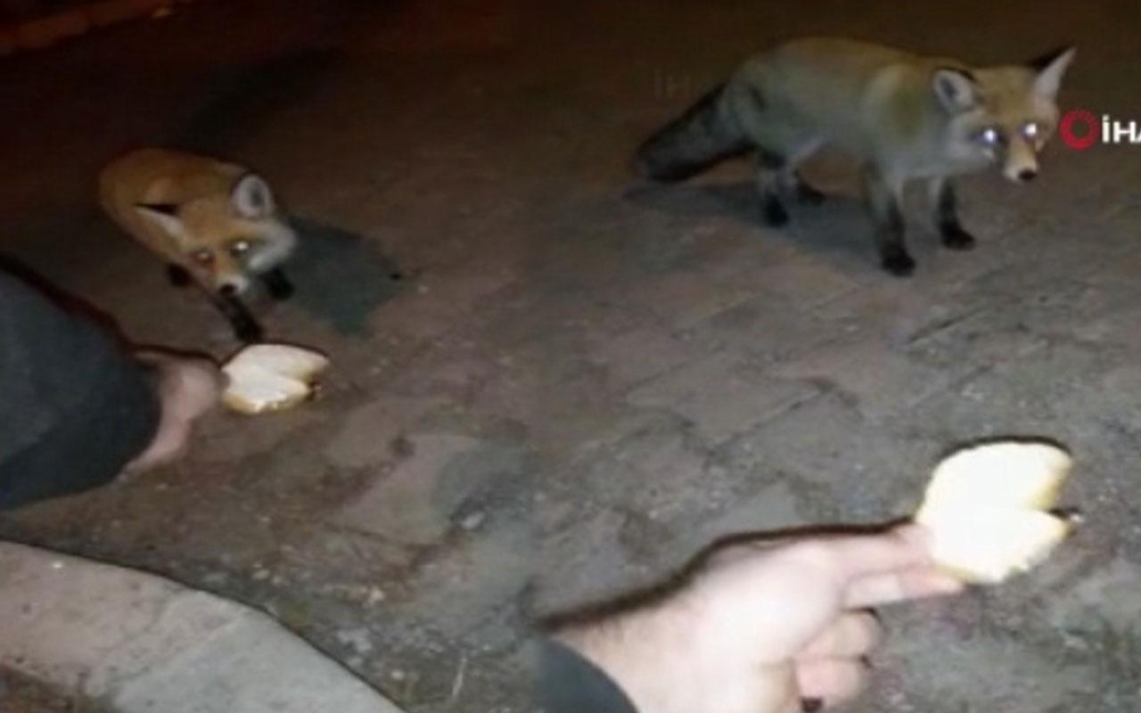 Ardahan'da aç kalan tilkiyi eliyle besledi