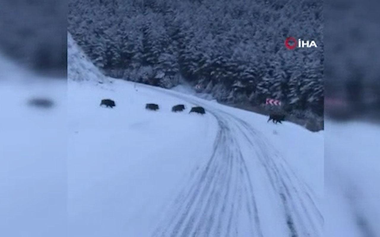 Ardahan'da yola inen domuz sürüsü böyle görüntülendi