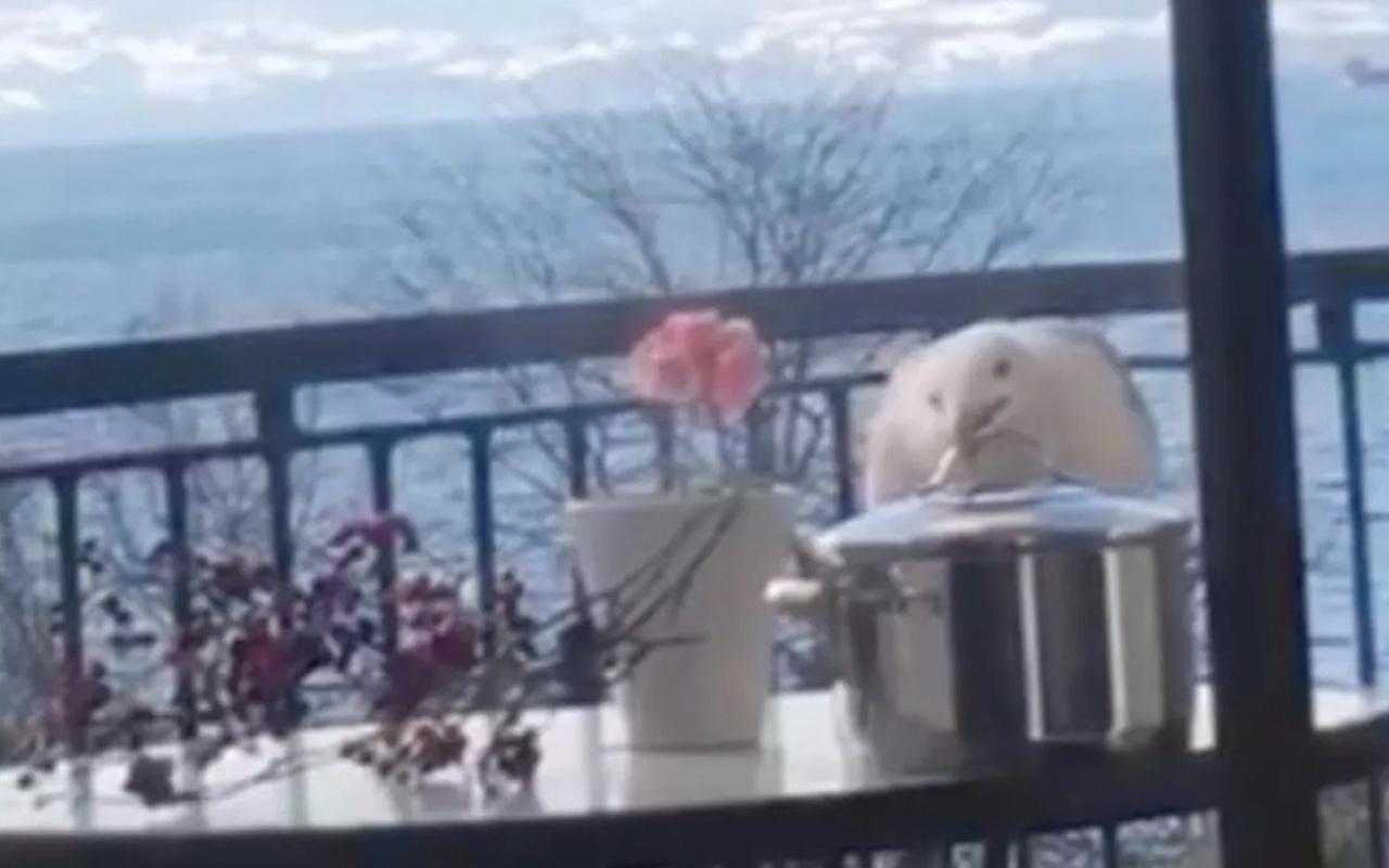 Martının tencere kapağını açarak kapuskayı yediği anları kamerada