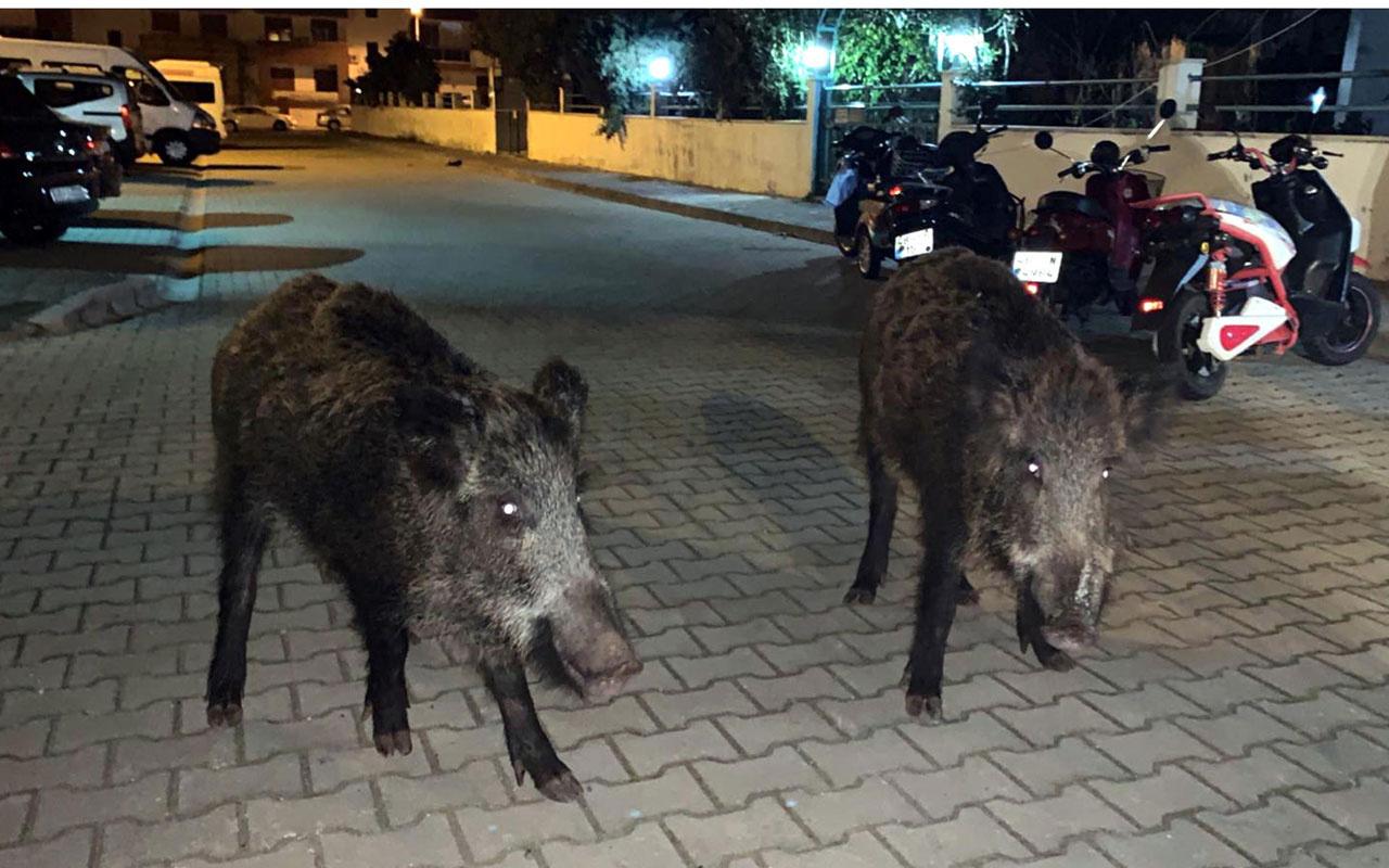 Marmaris'te yaban domuzlarını mısırla besledi