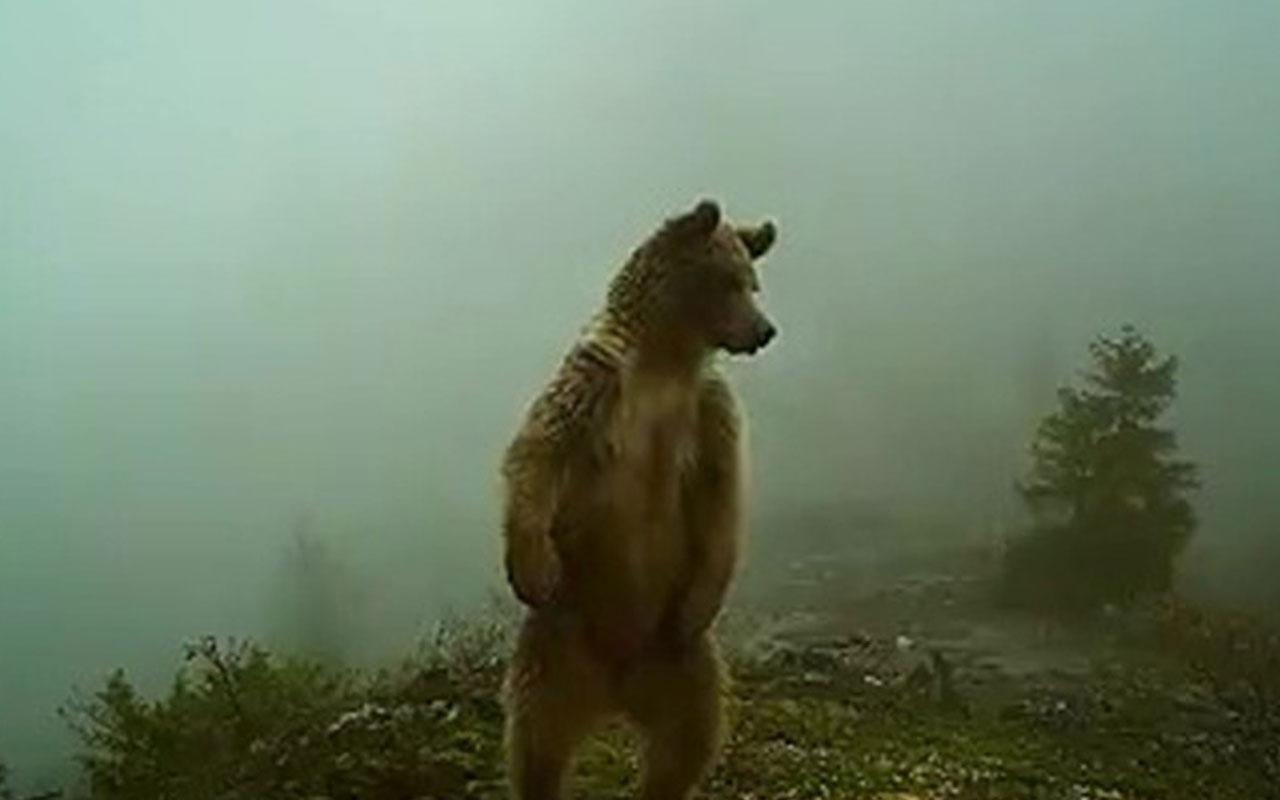 Düzce'de kış uykusundan uyanan ayılar foto kapanla görüntülendi