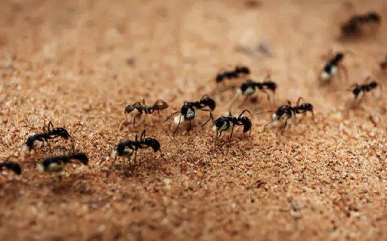 Karınca istilası nerede kıyamet alameti mi Araf suresi açıklıyor