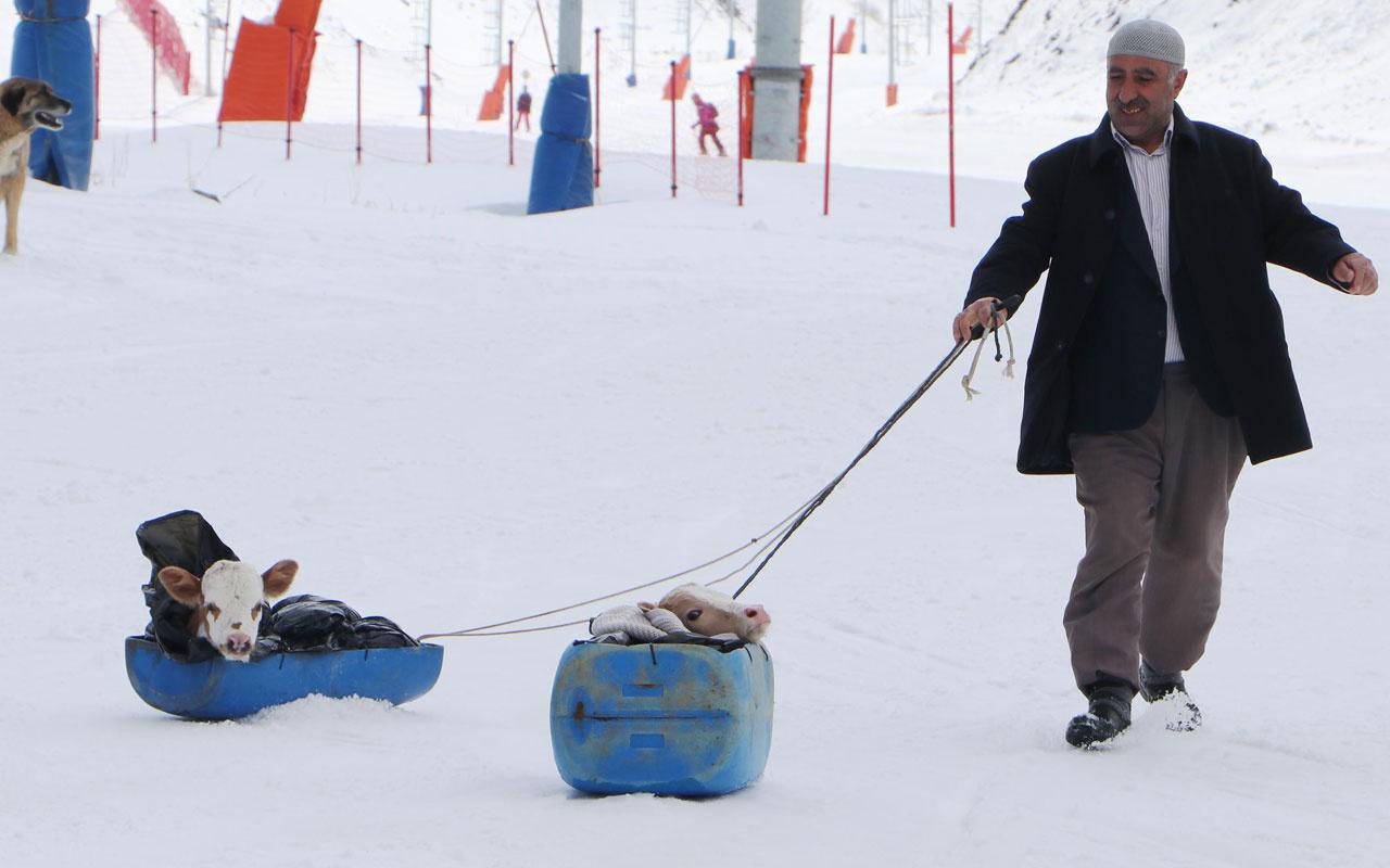 Buzağılar Palandöken'de kayak pistine çıktı 'hastalandılar ne yapayım'