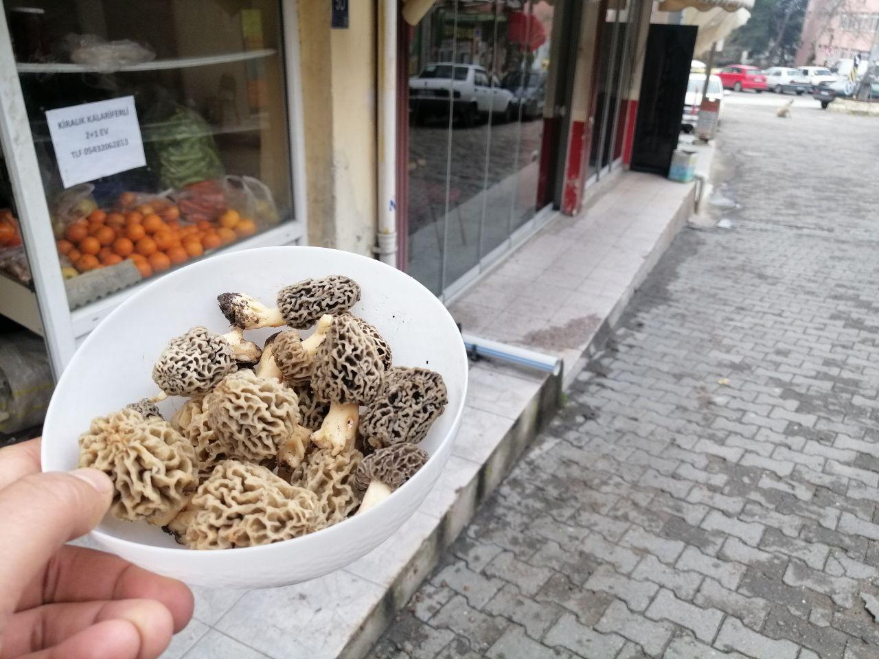 Köylüler topluyor kuzugöbeği mantarının kilosu koranayla fırladı