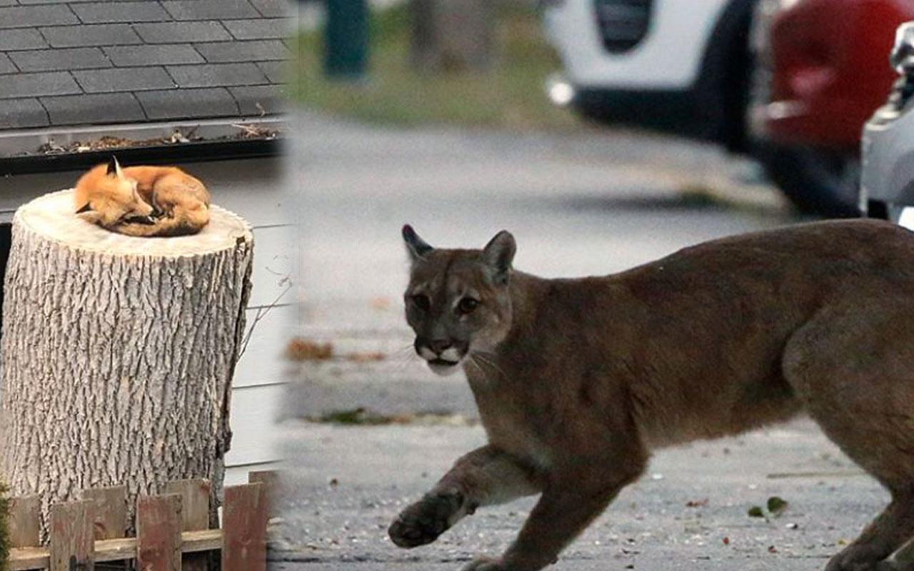 Karantina manzaraları yaban hayvanları şehre indi!